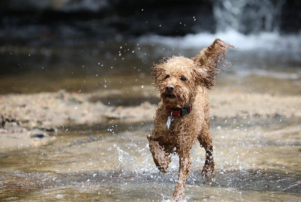 Dvärgpudel springer i vatten
