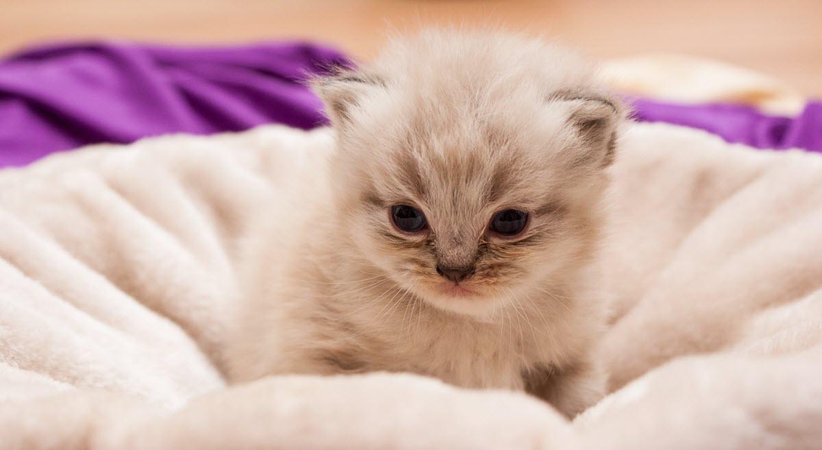 perser katt (kattunge)